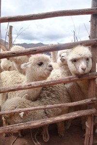 eat_wear_wander_llama