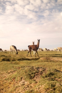 eat_wear_wander_llamas3